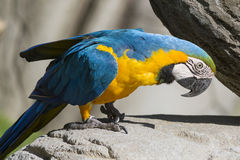 Ara ararauna parrot on its perch Royalty Free Stock Photography