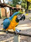 Ara Ararauna portrait Bleu-jaune de perroquet d'ara Perroquet d'Ara Macaw image stock