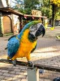 Ara Ararauna portrait Bleu-jaune de perroquet d'ara Perroquet d'Ara Macaw photo libre de droits
