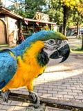 Ara Ararauna portrait Bleu-jaune de perroquet d'ara Perroquet d'Ara Macaw images libres de droits