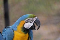 Ara Azul-e-amarelo Foto de Stock Royalty Free