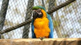 Ara, błękit i kolor żółty, arony Ararauna zdjęcie wideo