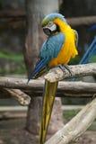 Ara, ara błękitny żółty biel/ Zdjęcia Royalty Free