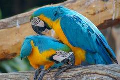 Ara - beaux perroquets tropicaux photo stock