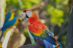 Ara - bei pappagalli tropicali fotografia stock libera da diritti