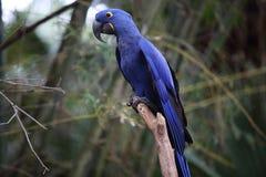 Ara bleu au-dessus d'une branche Image libre de droits