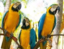 Ara bleu coloré de perroquet d'isolement sur le fond blanc Photographie stock libre de droits