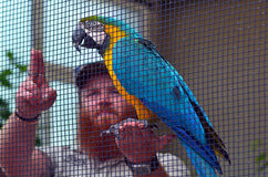 ara Bleu-et-jaune avec un entraîneur d'oiseaux Photographie stock