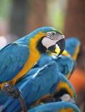 Ara bleu-et-jaune de grand perroquet Image libre de droits