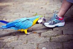 Ara bleu et jaune de perroquet Contact avec la personne Photo libre de droits