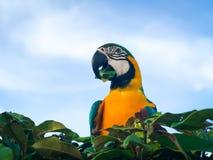 ara Bleu-et-jaune sur l'équipe d'arbre grand comme ciel de fond lumineux images stock
