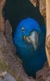 Ara bleu se cachant dans une cavité de tronc d'arbre Image stock