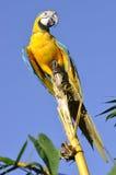 Ara Blu-e-gialla amazzoniana Immagine Stock Libera da Diritti