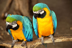 Ara blu e gialla bella Immagine Stock Libera da Diritti