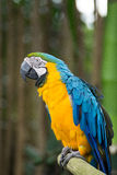 Ara blu e gialla, Indonesia Fotografia Stock