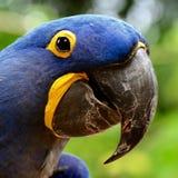 Ara blu, uccello esotico Immagini Stock Libere da Diritti
