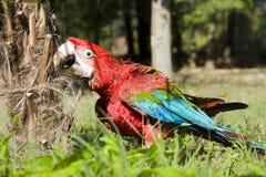 ara chloroptera绿色金刚鹦鹉红色 库存图片