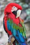 Ara Chloroptera. Nice colorful parrot (Ara Chloroptera Stock Photography