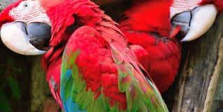 Ara chloroptera close up Stock Image