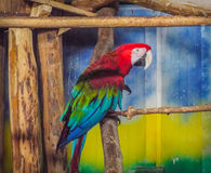 Ara chloropterus,exotic colorful parrot. Parrot with green wings Ara chloropterus is the Red Macaw parrot gender and largest parrot Ara Royalty Free Stock Photos