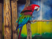 Ara chloropterus,exotic colorful parrot. Parrot with green wings Ara chloropterus is the Red Macaw parrot gender and largest parrot Ara Royalty Free Stock Image