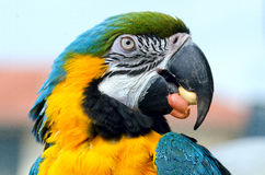 Ara. Close up of a macaw parrot while nibbling a peanut seed Royalty Free Stock Image
