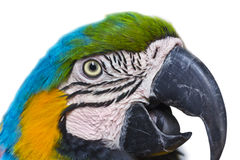 Ara d'oiseau de perroquet Photos libres de droits