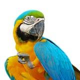 Ara de bleu et d'or Photographie stock libre de droits