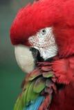Ara de perroquet images stock