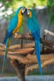 Ara de perroquet Image stock
