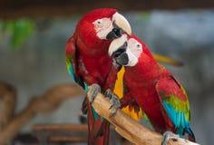 Ara de perroquet Photographie stock libre de droits