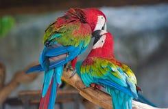 Ara de perroquet Image libre de droits