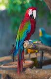 Ara de perroquet Photo stock