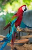 Ara de perroquet Photos libres de droits