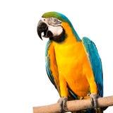 Ara de perroquet Photos stock