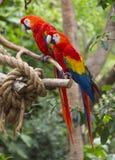 Ara de perroquet de deux rouges sur des branches d'arbre image libre de droits