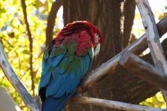 Ara del pappagallo fotografia stock libera da diritti