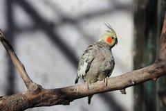 Ara del pappagallo immagine stock