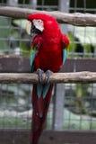 Ara del pappagallo Immagine Stock Libera da Diritti