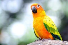 Ara del pappagallo di conuro di Sun Fotografia Stock Libera da Diritti