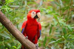 Ara del pappagallo, ara sul brunch immagine stock libera da diritti