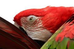 Ara dell'arcobaleno, pappagallo, pappagallo di Amazon Fotografie Stock