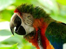 Ara dell'arcobaleno, pappagallo, pappagallo di Amazon Immagini Stock Libere da Diritti