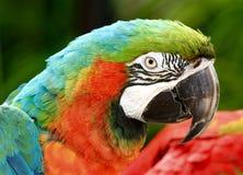 Ara dell'arcobaleno, uccello esotico Fotografia Stock Libera da Diritti
