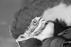 Ara dell'arcobaleno, uccello esotico Immagine Stock