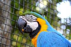 Ara dell'oro blu e giallo - ararauna dell'ara Immagini Stock