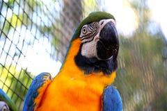 Ara dell'oro blu e giallo - ararauna dell'ara Fotografia Stock Libera da Diritti