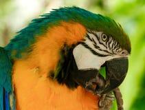 Ara dell'oro & del blu, esotica, uccello, pappagallo di Amazon, specie Immagine Stock