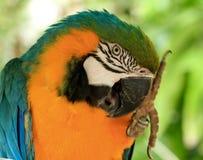 Ara dell'oro & del blu, uccello esotico Immagine Stock Libera da Diritti