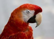 Ara di rosso del pappagallo Immagine Stock